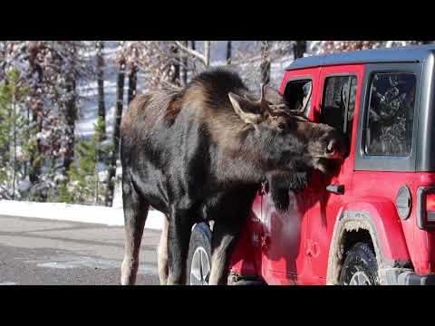 В Канаде водителей призывают избегать лосей — они вылизывают машины